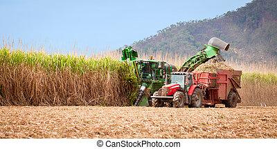 bastón, cosecha, azúcar