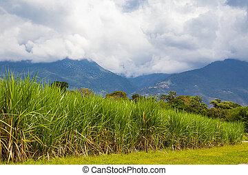 bastón, de, colombia, las, montañas, azúcar, vista, campo, del, paramo, región, hermosas, valle, cauca