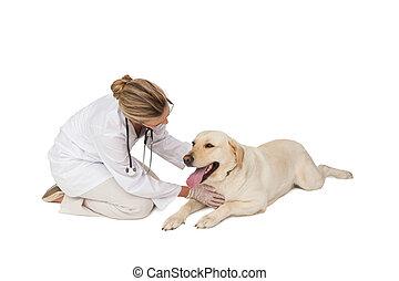 bastante, veterinario, labrador, perro amarillo, acariciando