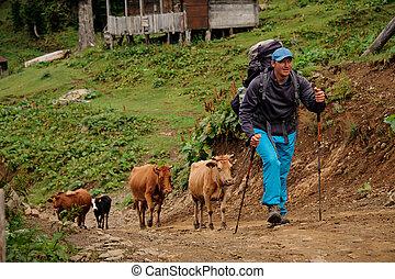 bastoni ambulanti, andando gita, zaino, su, gregge, collina, mucche, uomo