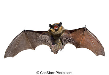 Bat 1 - A close up of the small bat. Isolated on white.