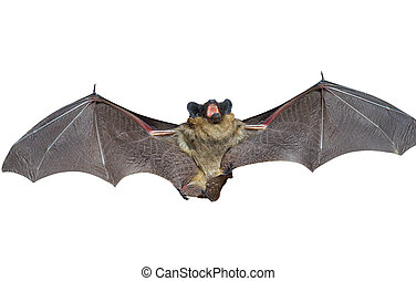 Bat 4 - A close up of the small bat. Isolated on white.