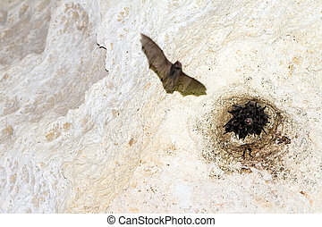 A bat flies through a cave with others bats sleeping in Tsingy de Bemarahastrict nature reserve, Madagascar