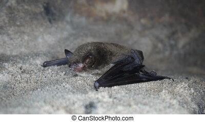 Bat closeup - Shooting sleeping in a cave bat, front view