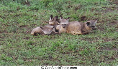 bat-eared fox herd - a herd of Red bat-eared foxes, Otocyon...