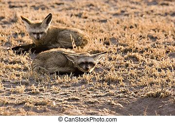 Bat-eared fox in Central Kalahari Game Reserve Botswana