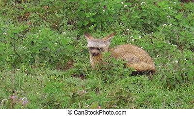 bat-eared fox of Tanzania - Red bat-eared fox of Otocyon...
