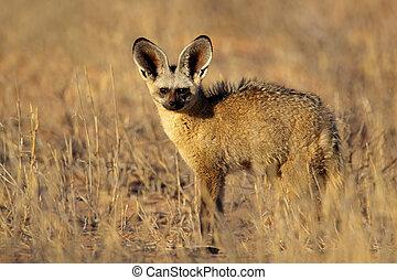 Bat-eared fox (Otocyon megalotis) , Kalahari desert, South ...