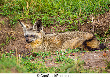 Bat-eared Fox resting at the mouth of its den