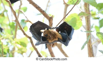 Bat (Lyle's flying fox, Pteropus lylei or Pteropodidae) perched hanging on a tree in the wild