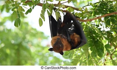 Bat (Flying fox) hanging on a tree