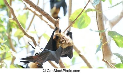 Bat (Flying fox) hanging on a tree - Bat (Lyle's flying fox,...