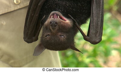 Bat hanging upside down and chewing - Close up of a bat...