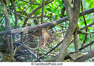 Bat indian flying fox (Pteropus giganteus chinghaiensis) ...
