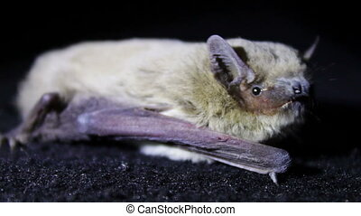 Bat night lying on the ground and flies with terrible muzzle.