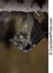 Bat - a bat hanging upside down