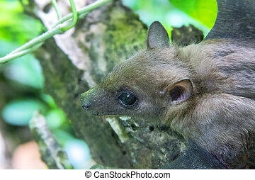 Bat portrait. Indian flying fox (Pteropus giganteus ...