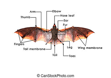 Bats are mammals of the order Chiroptera whose forelimbs...