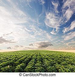 batata, colheita, campo, em, sunset., agricultura, cultivado, área, fazenda