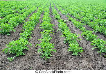 batata, planta, 12