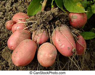 batata, tubers
