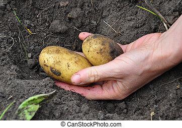 batatas, colher