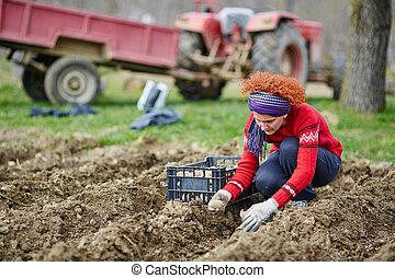 batatas, mulher, semear