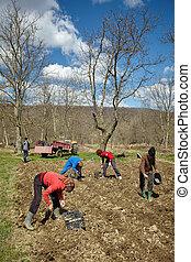 batatas, semear, família, camponeses