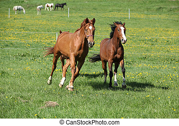 Batch of beautiful horses running on pasturage - Batch of ...
