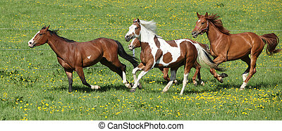 Batch of beautiful horses running on pasturage - Batch of...