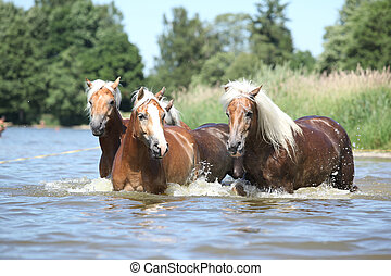 Batch of chestnut horses moving in the wather - Batch of ...
