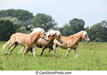 Batch of chestnut horses running together in freedom in...