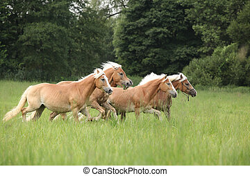 Batch of chestnut horses running together in freedom in high...