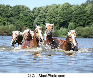 Batch of chestnut horses swimming in water - Batch of nice ...