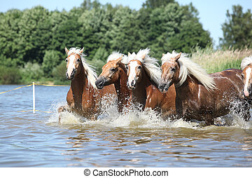 Batch of haflingers in water - Batch of young haflingers ...