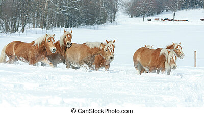 Batch of haflingers together in winter - Batch of haflingers...