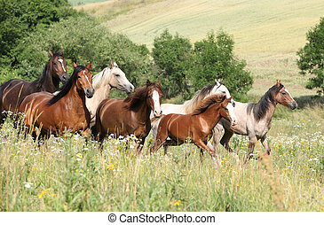 Batch of horses running in flowers on pasturage