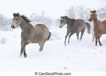 Batch of horses running in winter - Batch of horses running...