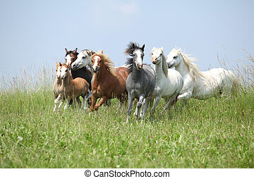 Batch of nice welsh ponies running together on green pasturage