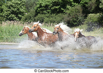 Batch of young chestnut horses running in water