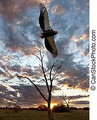 Bateleur Eagle - Savuti - Botswana