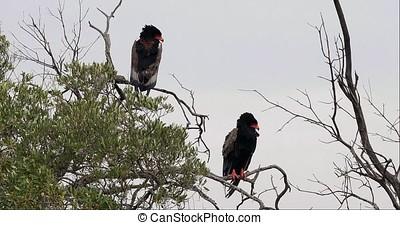 Bateleur Eagle, terathopius ecaudatus, Pair perched on the...