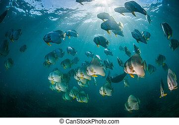 Batfish schooling in clear water