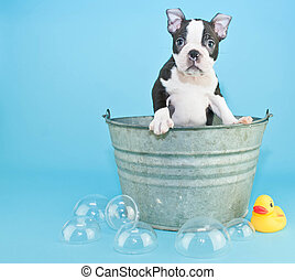 Bath Time - Very Sweet black and white Boston terrier puppy...
