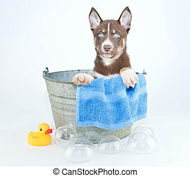 Bath Time - Husky puppy sitting in a tub with bubbles and a...
