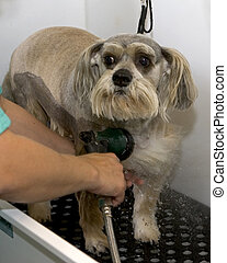 Bath Time - Getting a bath at the groomers