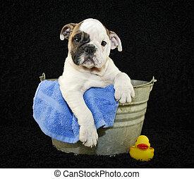 Bath Time - Cute Bulldog puppy sitting in a bath tub on a...