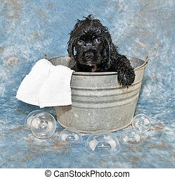 Bath Time - A silly Cocker Spaniel puppy that is not happy...