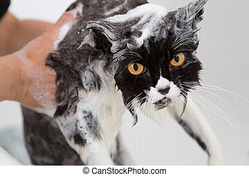 Bathing a cat - Bath or shower to a Persian breed cat