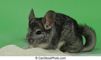 Bathing chinchilla in sand for these animals. Green...